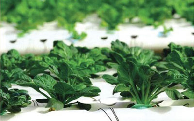 Superthrive-Plant-Food-in-Hydroponics