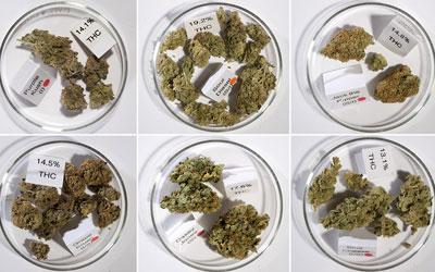 Cannabis-Varietals