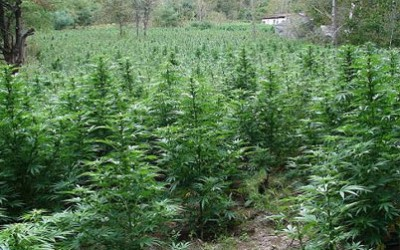 Large open field with medical marijuana