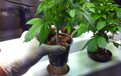 Small marijuana plant in small pot