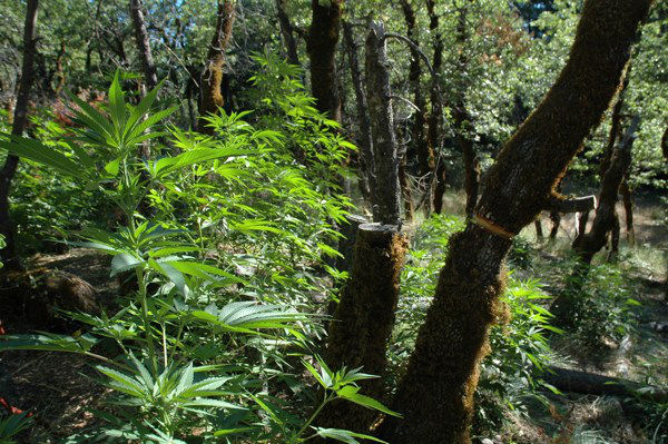 Marijuana plant growing in the forest