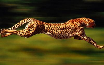 Cheetah running into the wild