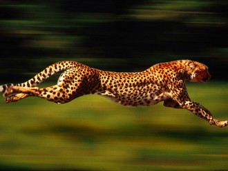 A running cheetah in the wild.