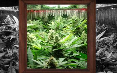 Window frame with marijuana