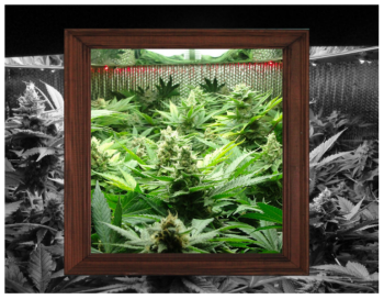 Photo colage of marijuana garden
