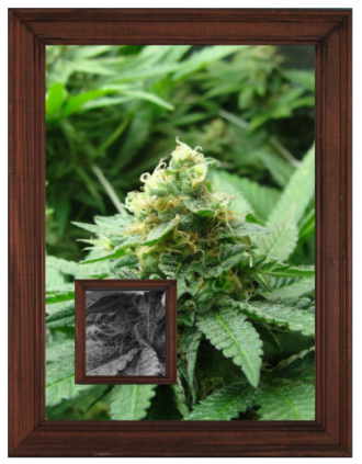 A close-up image of marijuana bud placed into a wooden frame