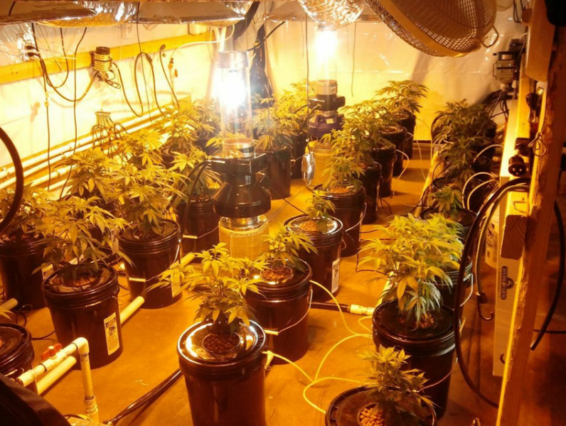 Grow room with artificial lights and medical cannabis plants