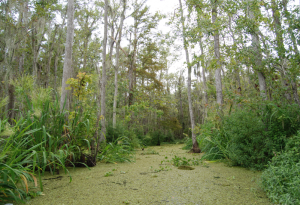 Swamps and creeks where to plant cannabis plants for higher yields
