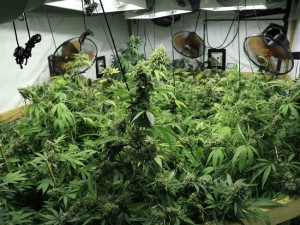 marijuana-hydroponics-w650