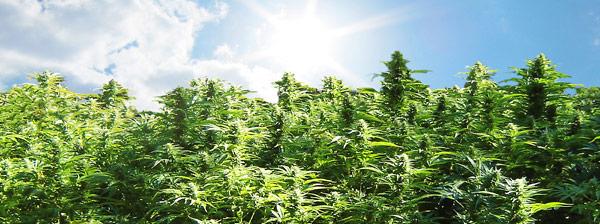 weed-big-w650