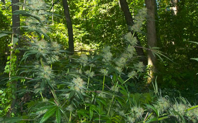 How-I-Harvested-My-Guerrilla-Grows-Without-Getting-Caught-FI