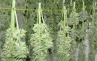 Hundreds-of-Pounds-of-Weed-Drying-and-The-Landlord-Was-On-Her-Way-FI